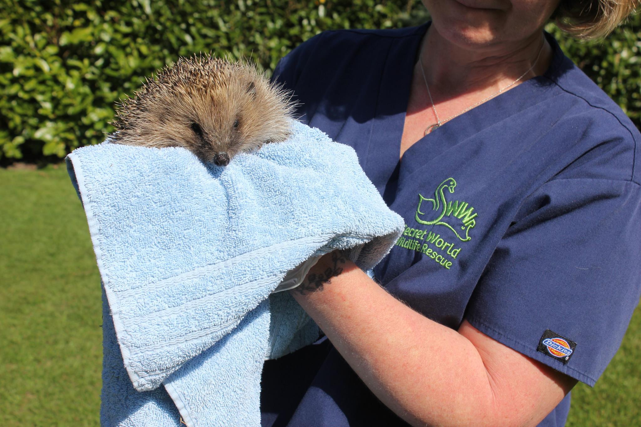 Volunteer holding hedgehog